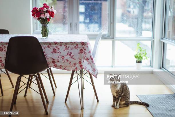 A tabby cat sitting in a dinning room