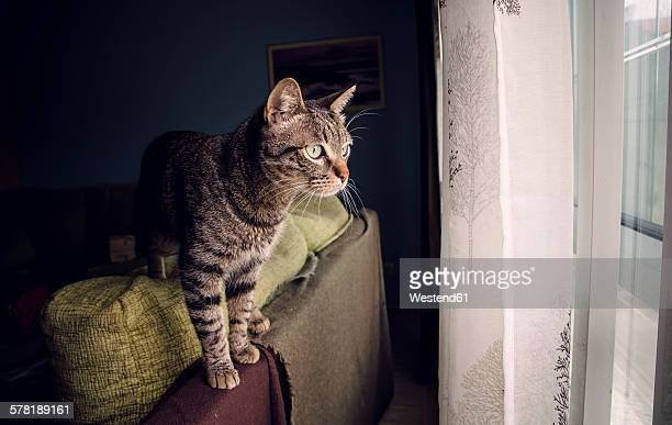 Tabby cat standing on backrest of couch looking through window