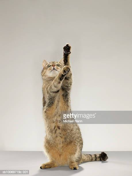 Tabby cat standing on hind legs with stretching out paw