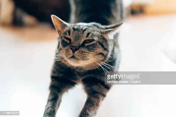 Tabby Cat Stretching On Floor At Home