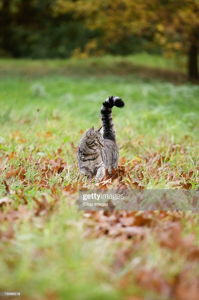 Tabby cat walking on grass and autumn leaves : Stock Photo