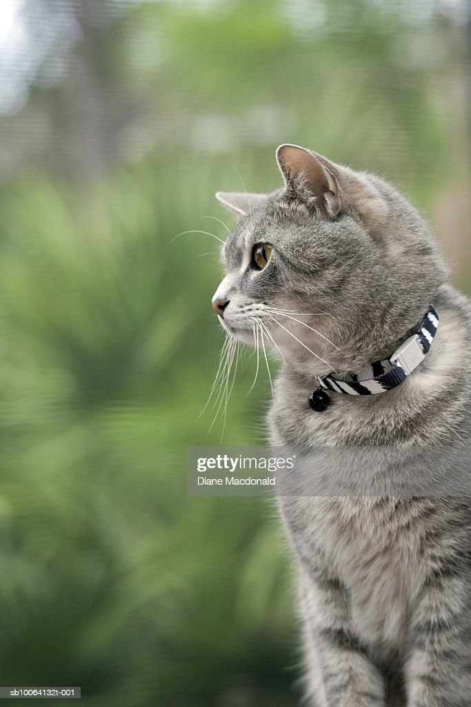 Tabby cat wearing collar outdoors, close-up : Stock Photo