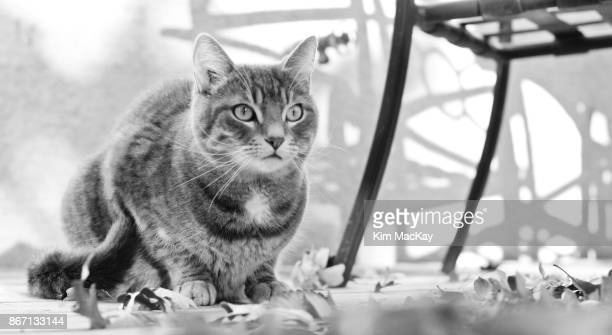 Tabby cat with fall leaves on our deck, b&w