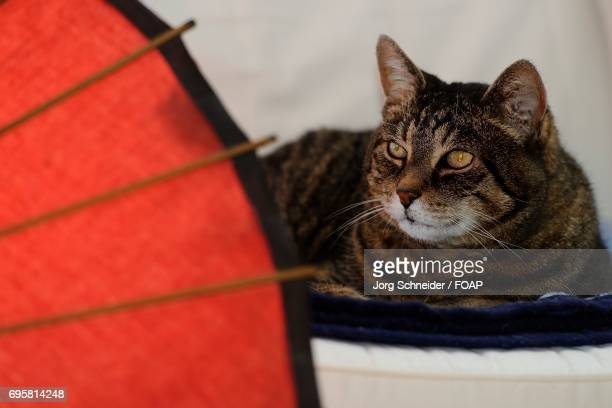 Tabby cat with red umbrella