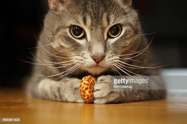 Tabby cat won't let go of her toy