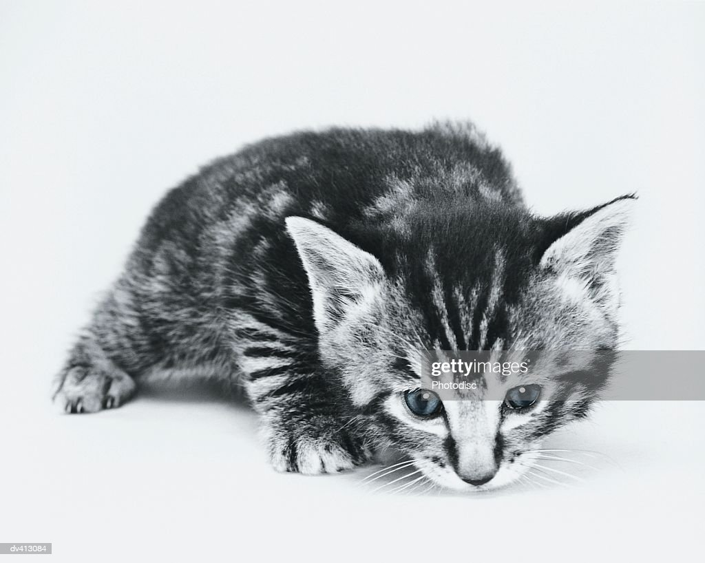 Tabby Kitten crouching down : Stock Photo