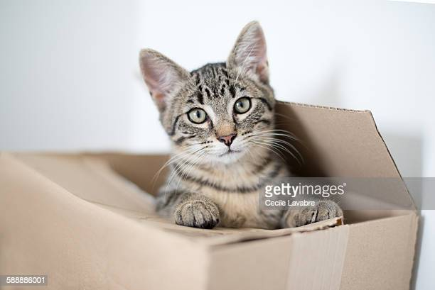 Tabby kitten hiding in cardboard box