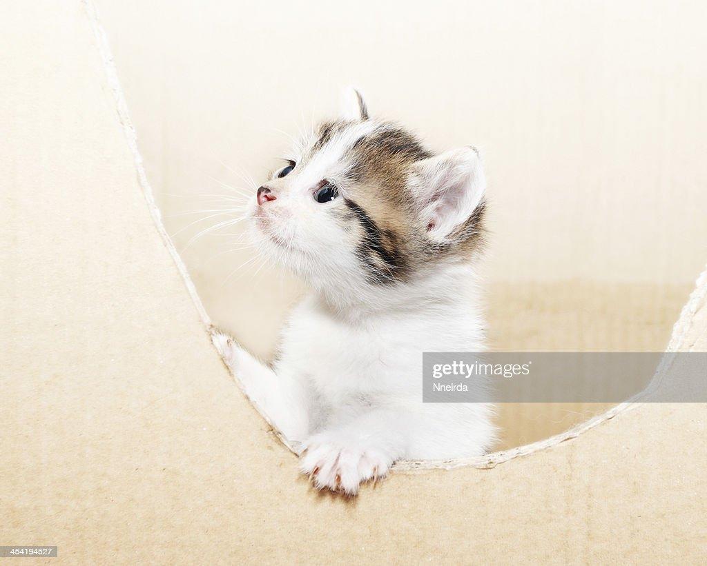 tabby kitten : Stock Photo