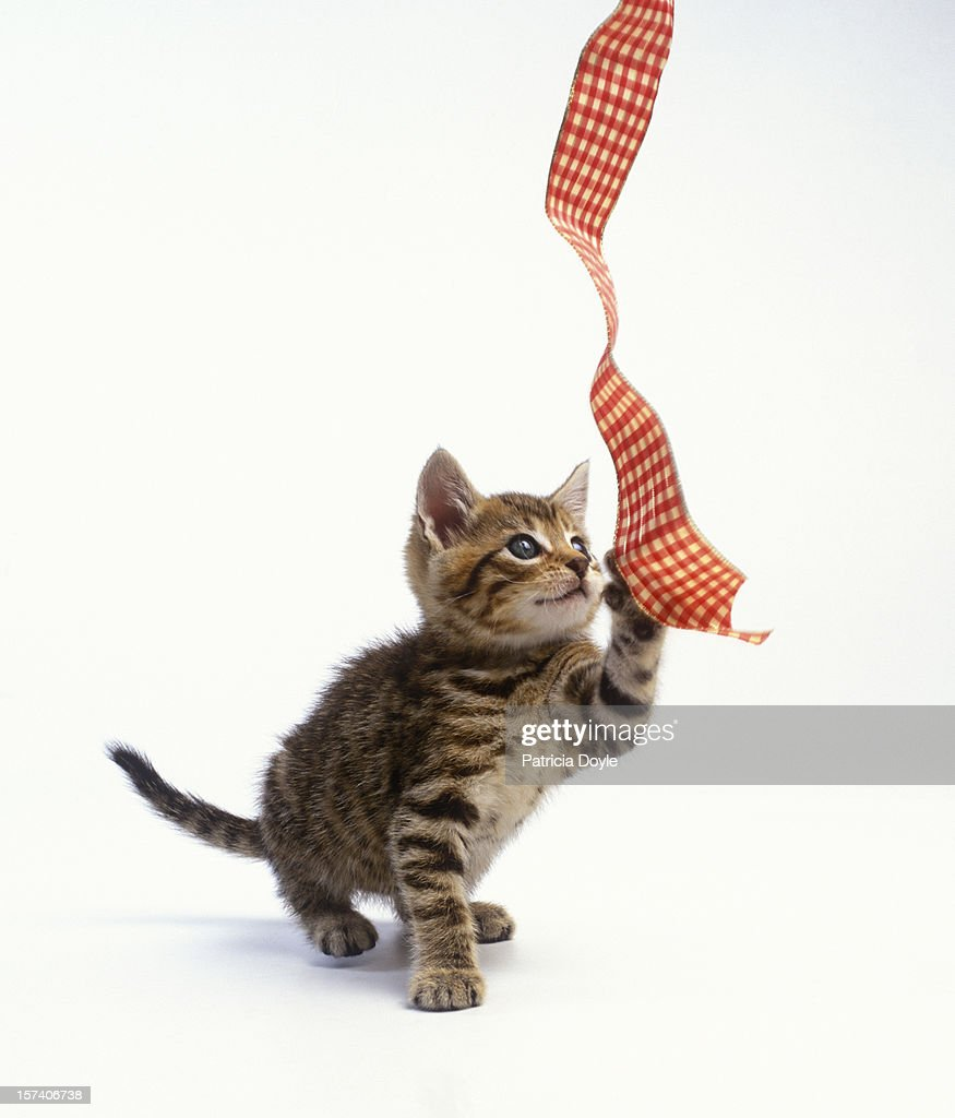 Tabby kitten playing with a dangling ribbon : Stock Photo