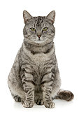 Tabby sits, on white background.