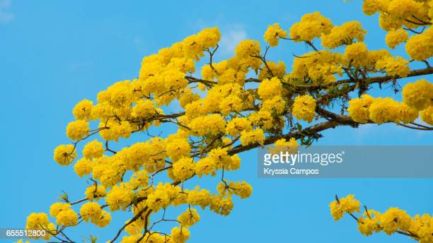 Tabebuia tree or Golden Trumpet Tree in full bloom shows off its yellow flowers against a vivid blue sky