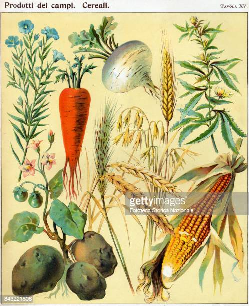 carrot corn potato flax hemp white turnip and grain From 'Il Mondo Illustrato ' a book for children Chromos Italy approx 1900