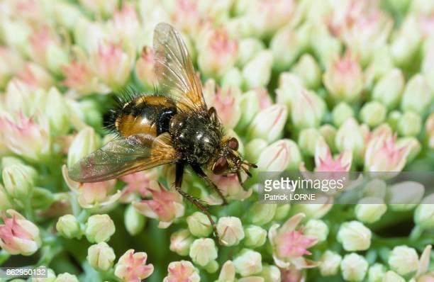 Tachinaire buttinant Diptera