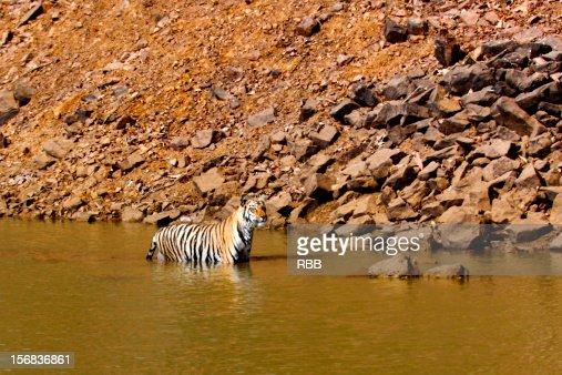 Tadoba Tiger : Stock Photo