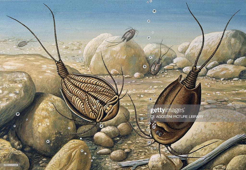 Tadpole Shrimp (Triops cancriformis), Triopsidae, drawing. Show more