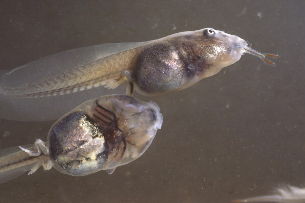 Tadpoles of the Mexican spadefoot toad, one eating a fairy shrimp Spea ...