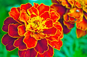 Tagetes in the garden. Tagetes garden flowers. Tagetes close-up