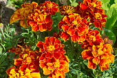 Tagetes patula flowers bloom in the garden