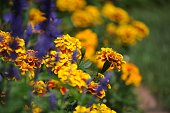 Yellow and orange marigolds / tagetes and blue (blurry) lavender flowers used as a border in flowerbed. Blurry background.