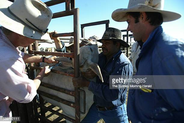 Taging a Brahman steer on Brunette Downs Cattle Station in the Northern Territory Australia 17 August 2004 SMH Picture by BRENDAN ESPOSITO