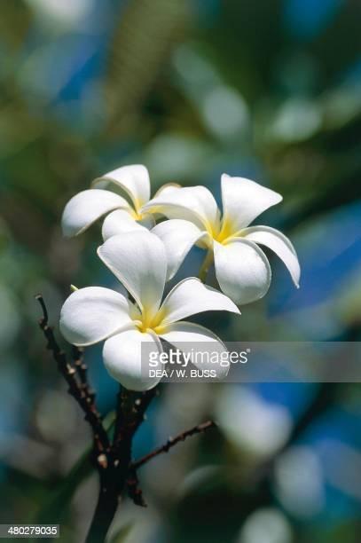 Tahitian gardenia or Tiare flower Rubiaceae Tahiti French Polynesia
