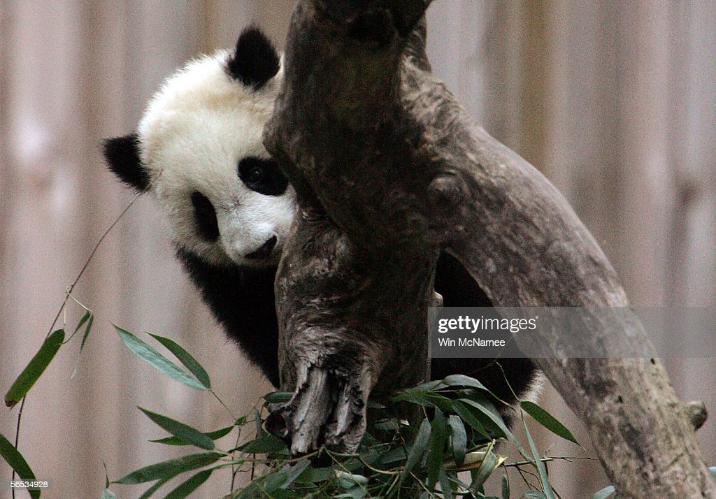 Tai Shan the giant panda cub at the National Zoo plays outside on tree stumps January 6 2005 in Washington DC Tai Shan is venturing outdoors more...