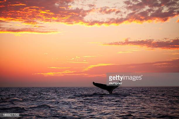 Tail fin from diving humpback whale at sunset