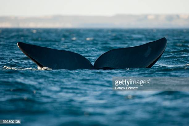 Tail of a Right Whale in Gulfo Nuevo in Argentina