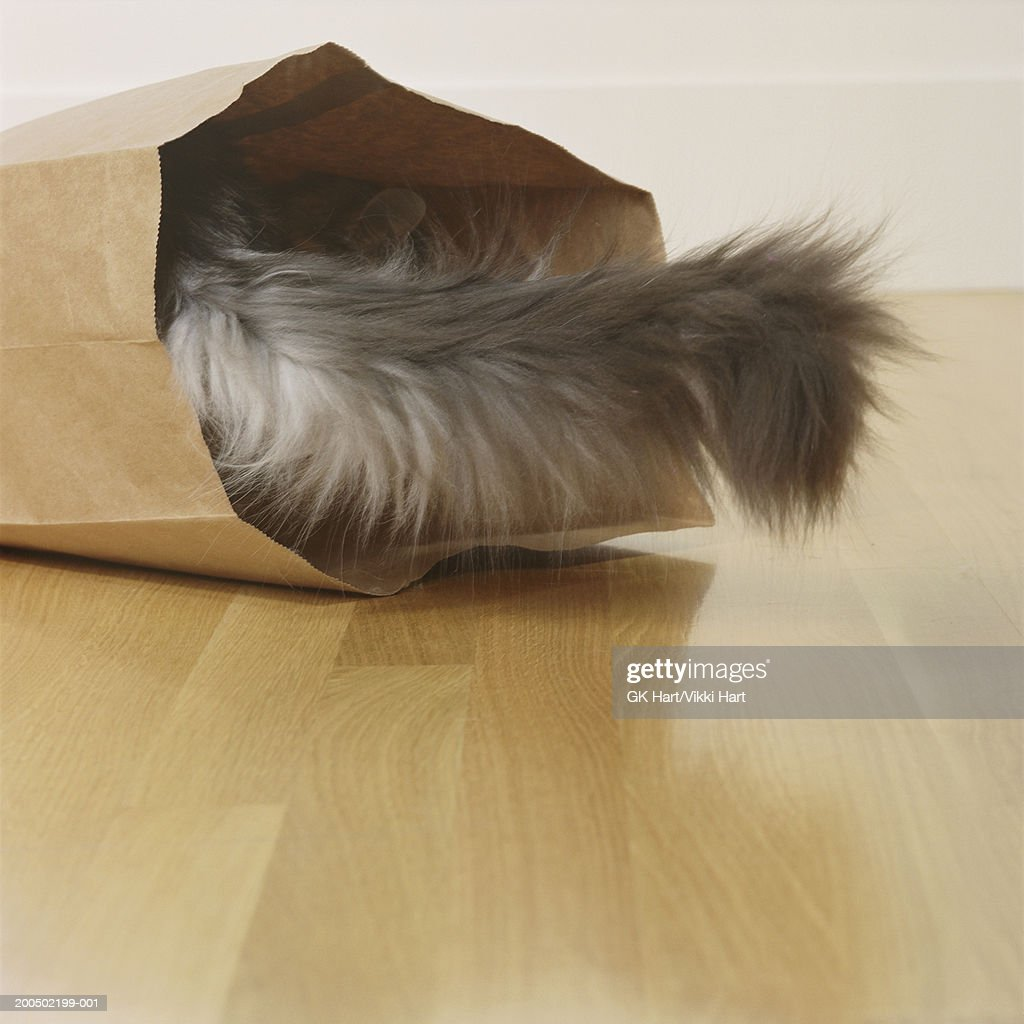 Tail of Adult Maine Coon Cat coming out of a paper bag : Stock Photo