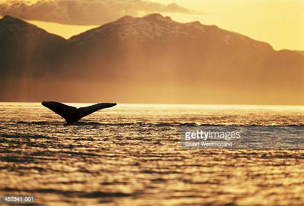 Tail of humpback whale above water, silhouette in sunset, Alaska, USA