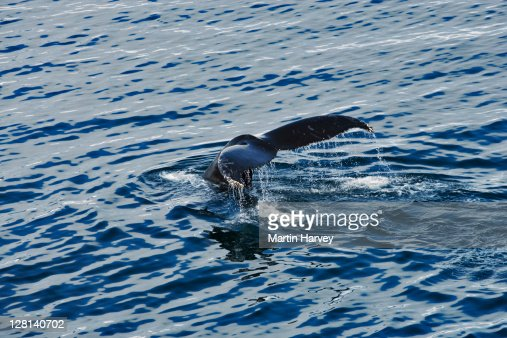 Tail of Humpback Whale, Megaptera novaeangliae, sticking out of water. Antarctic Ocean. Their preferred habitat is near islands and shores for feeding and breeding purposes. Status: Endangered. Antarctica. Dist. Worldwide : Stock Photo
