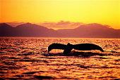 Tail of humpback whale (Megaptera novaeangliae), sunset