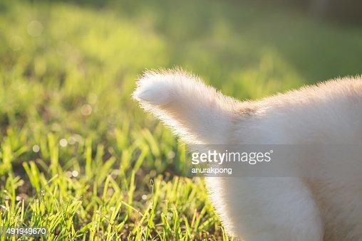 Tail Of Siberian Husky Puppy Stock Photo Thinkstock