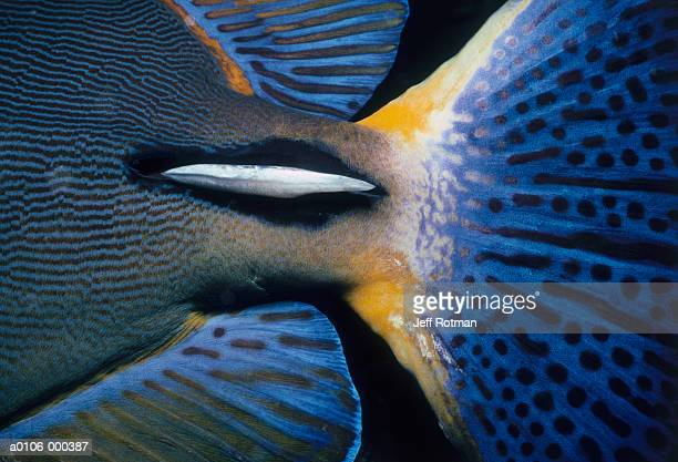 Tail of Surgeonfish