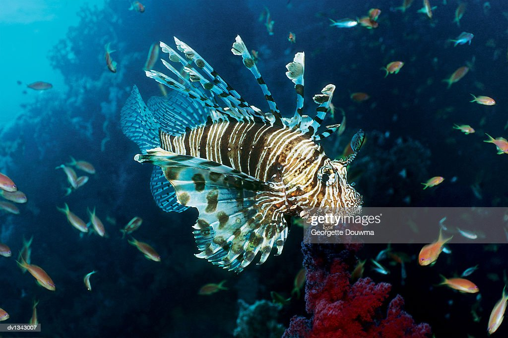Tailbar Lionfish Swimming By a Reef : Stock Photo