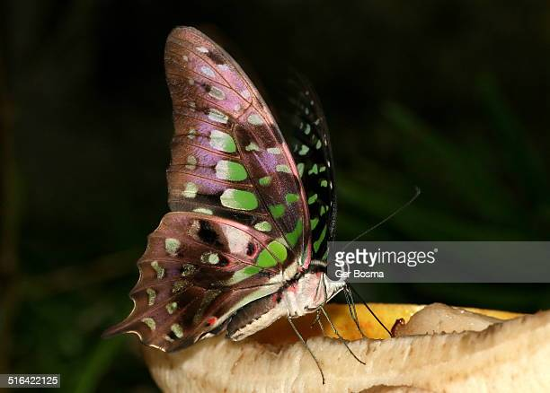 Geometric animal foto e immagini stock getty images for Pesce rosso butterfly