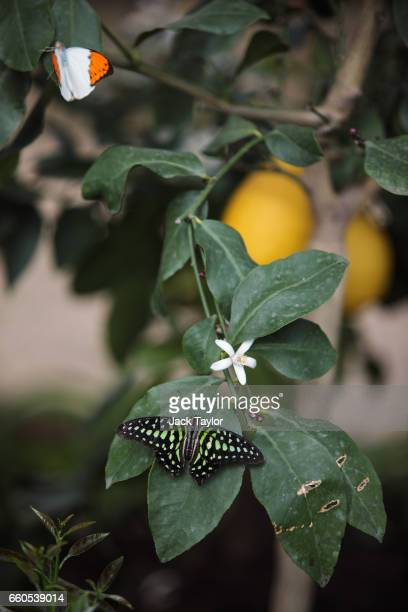 Tailed Jay butterfly sits on a leaf in the Butterfly House at Natural History Museum on March 30 2017 in London England The Natural History Museum's...