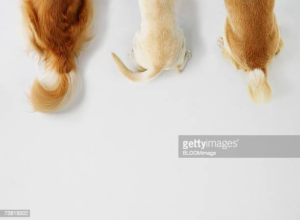 Tails of three dogs