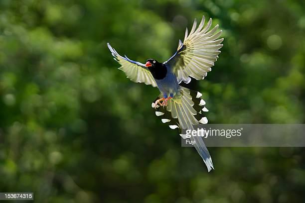 Taiwan Blue Magpie,bird, Family Corvidae