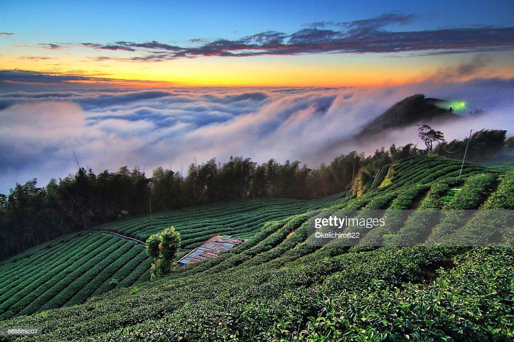 Taiwan high mountain tea garden sunset Landscape
