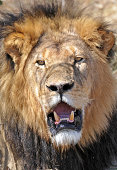 A male lion challenges the unwary, Hwange National Park, Zimbabwe, Africa
