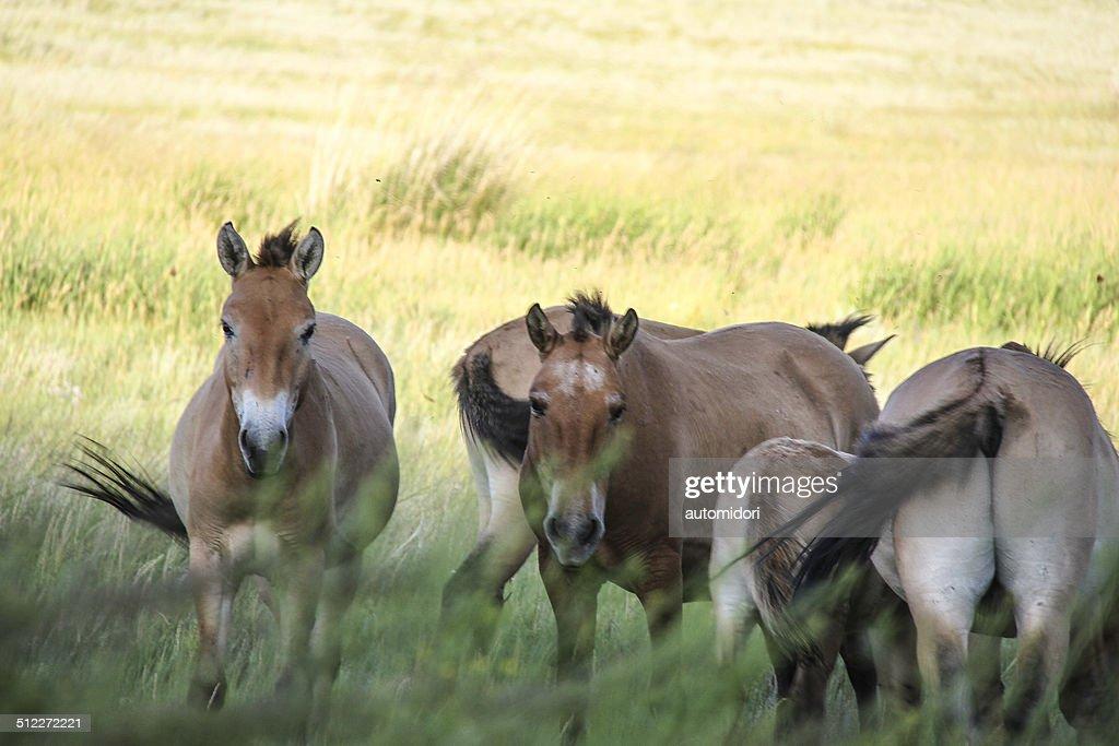 Takhi - Przewalski Horse
