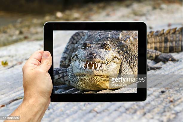Taking a picture of American alligator