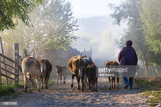 Taking cows home, Ura Village, Ura valley, Bumthang, Bhutan