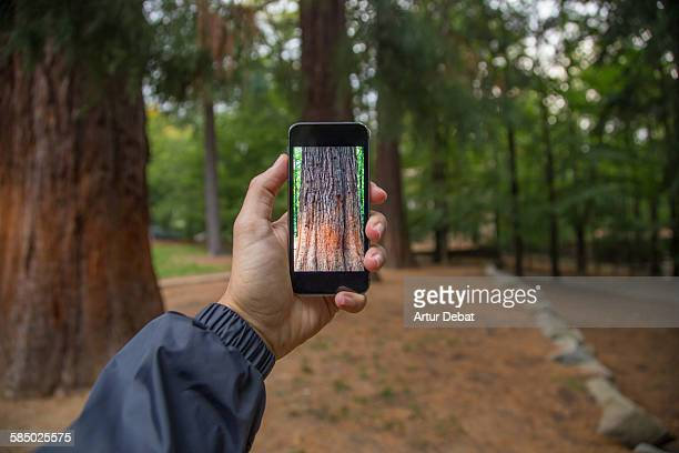 Taking pictures with smartphone of the sequoia.