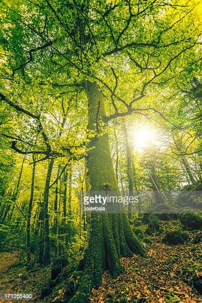 Große Buche im Wald