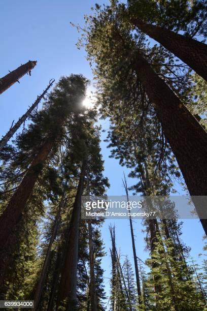 Tall coniferous trees from below