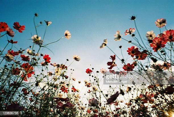 Tall cosmos ,cosmos bipinnatul flowers