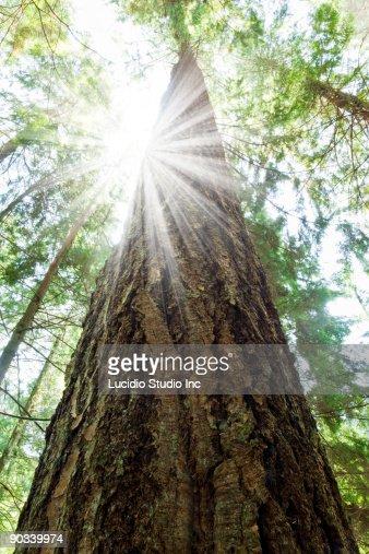 Tall Douglas Fir Tree With Sun Burst
