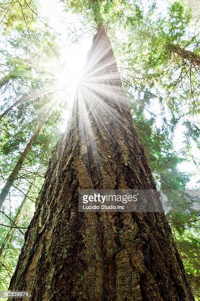 Tall Douglas Fir Tree With Sun Burst